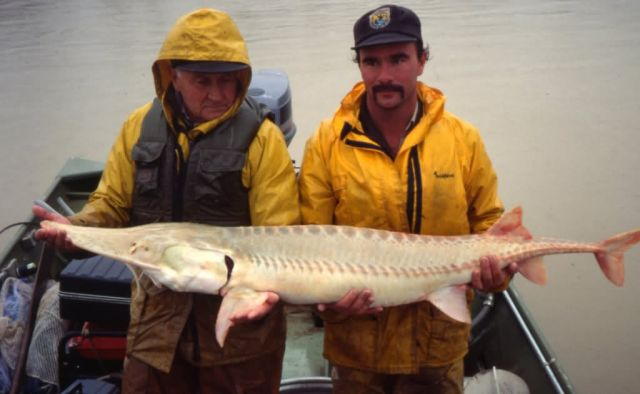 Captured Pallid Sturgeon Picture