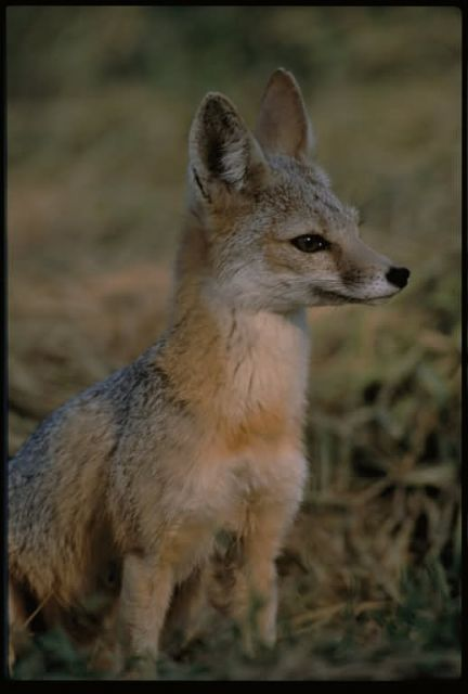 San Joaquin Kit Fox Picture