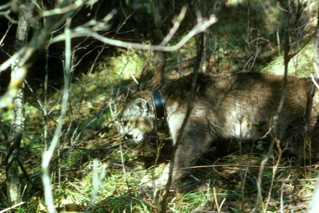 Mountain Lion with Radio Collar Picture