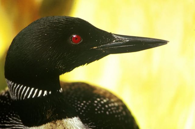 WO3989 Common Loon Picture