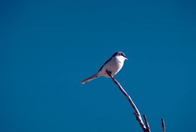 Loggerhead Shrike Picture