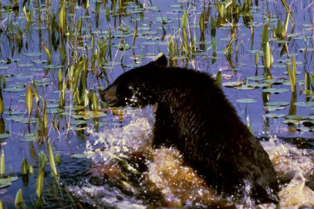 Black Bear Cub Picture