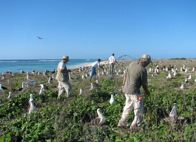 WOE197 Counting Laysan Albatross Nests Picture