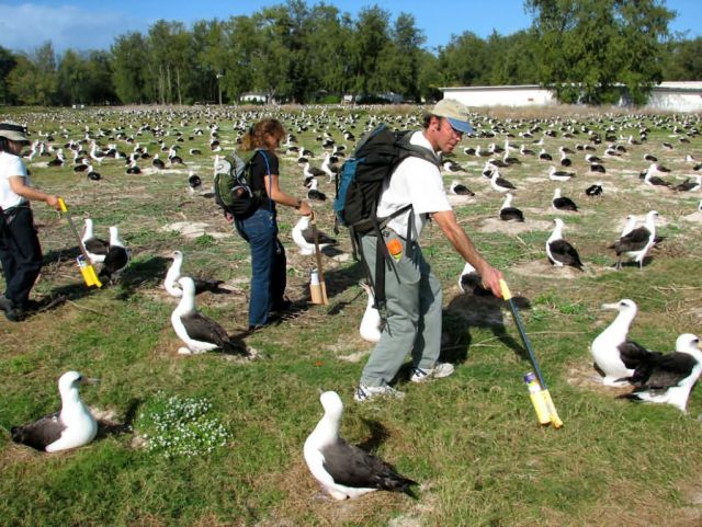 WOE195 Counting Laysan Albatross Nests Picture