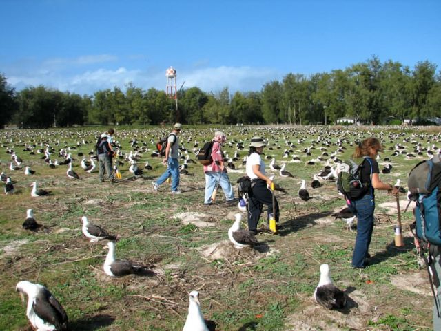 WOE196 Counting Laysan Albatross Nests Picture