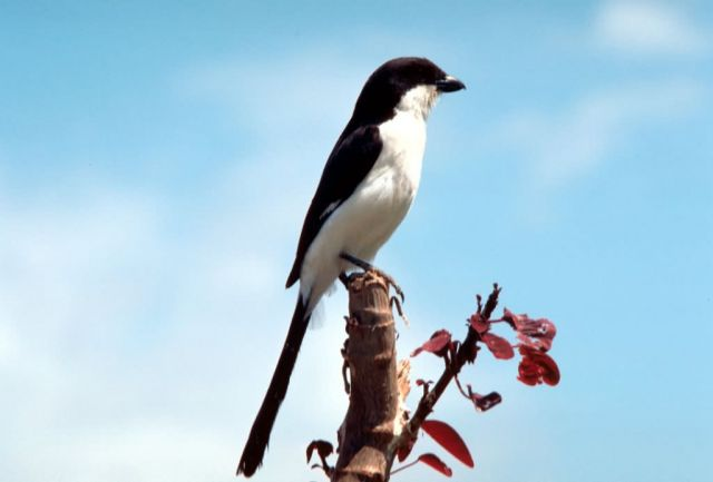 Long-tailed fiscal shrike Picture