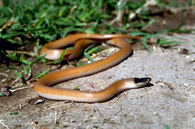 Plains Black-headed Snake Picture