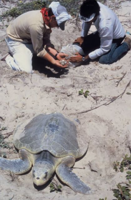 Collecting Kemp's Ridley Sea Turtle Eggs Picture