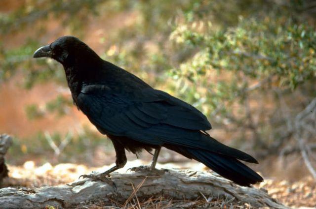 Raven Picture