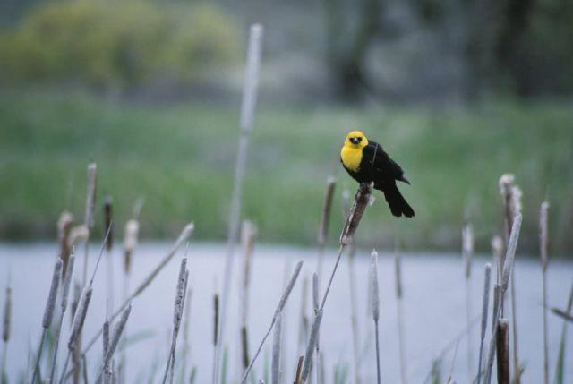 Yellow-headed Blackbird Picture