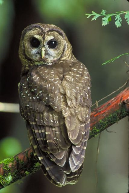 WO5490 Northern Spotted Owl Picture