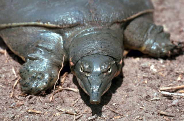 Texas spiny softshell turtle Picture