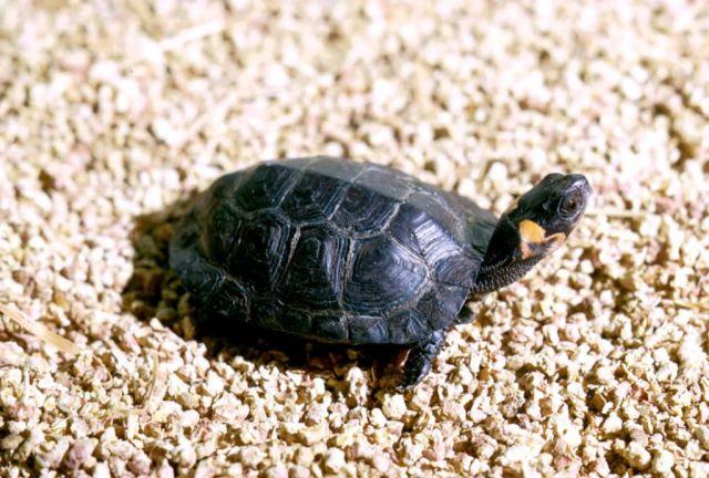 Bog Turtle Picture