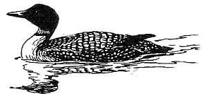 common loon 2 Picture