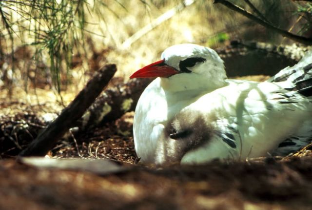 Red-tailed Tropicbird and Chick Picture