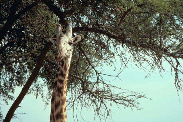Masai giraffe Picture