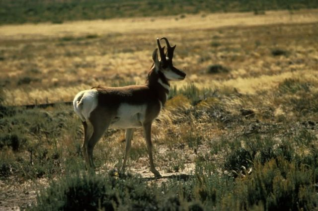 Pronghorn Antelope Picture