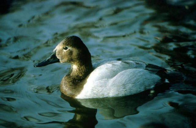 Canvasback Hen Picture
