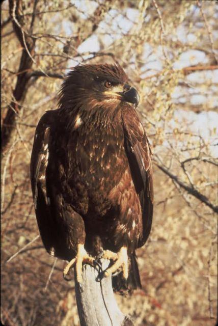 Immature Bald Eagle Picture