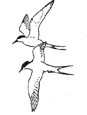 arctic tern 4 Picture