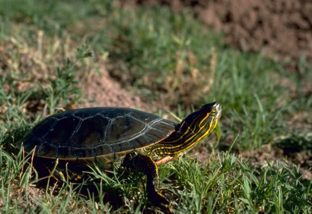 Western Painted Turtle Picture