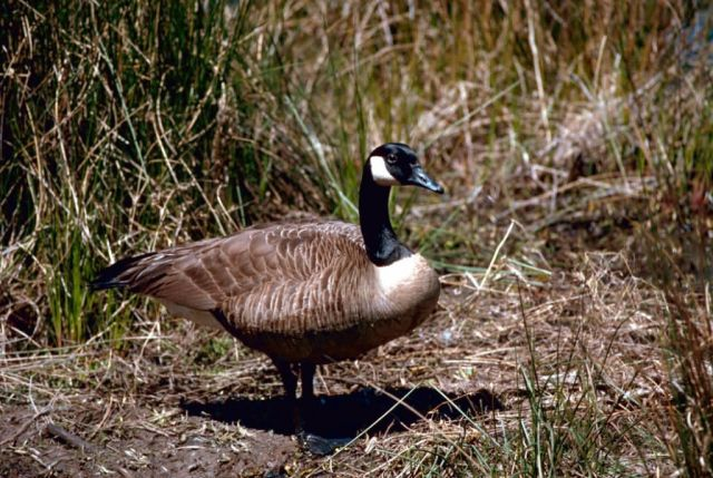 Canada Goose Picture