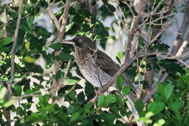 Pearly-eyed Thrasher (Puerto Rico) Picture