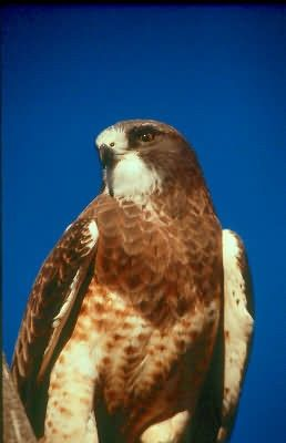 Swainson's Hawk Picture