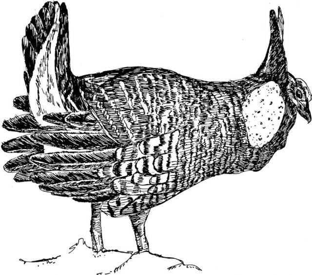 Prairie Chicken Picture
