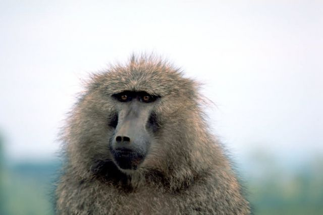 Olive Baboon Picture