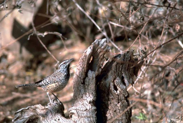 Cactus wren Picture
