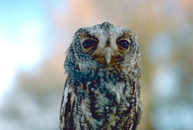Flammulated owl Picture