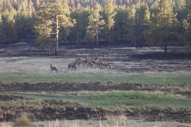 r2-tx-brr-elk feeding in burn area Picture