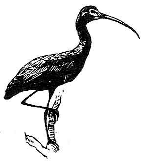 glossy ibis Picture