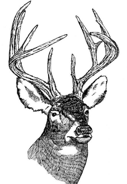 White-Tailed Deer (Head) Picture