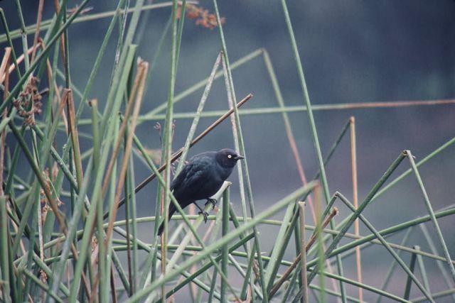 Brewer's blackbird Picture