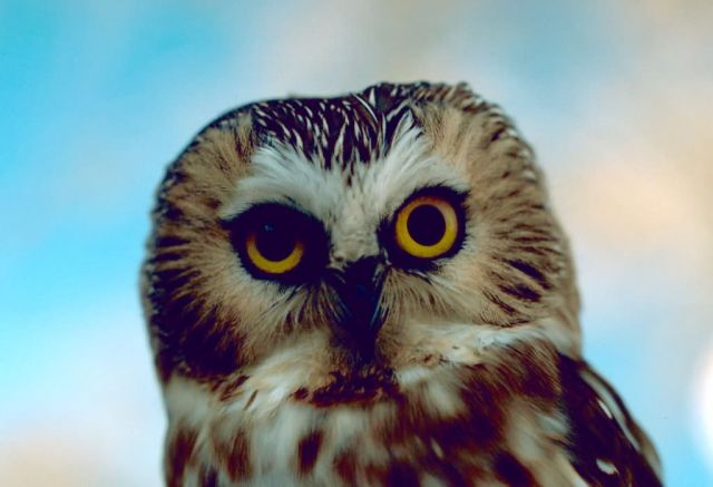 Saw-whet owl Picture