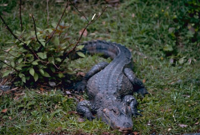 Chinese Alligator Picture