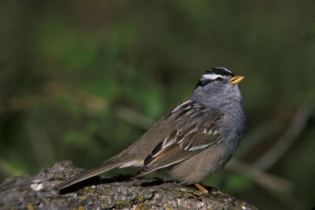 WO3777 White-crowned Sparrow Picture
