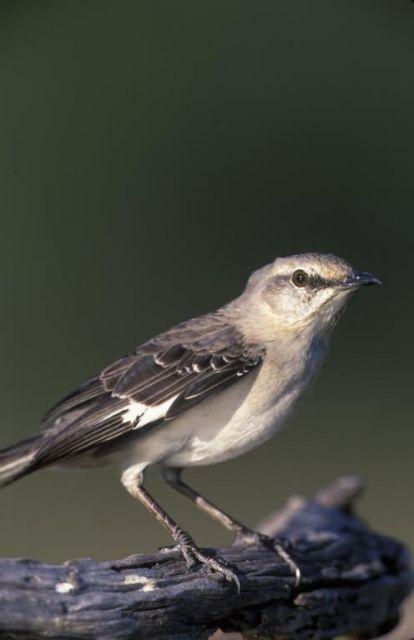 WO3924 Northern Mockingbird Picture