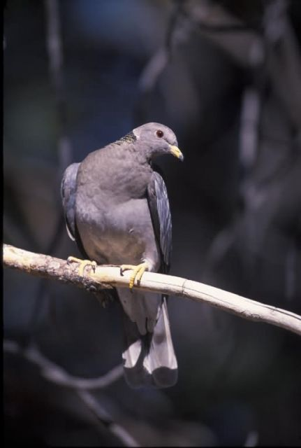 WO2477 Band-tailed Pigeon Picture