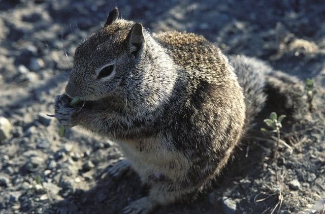 Ground Squirrel Picture