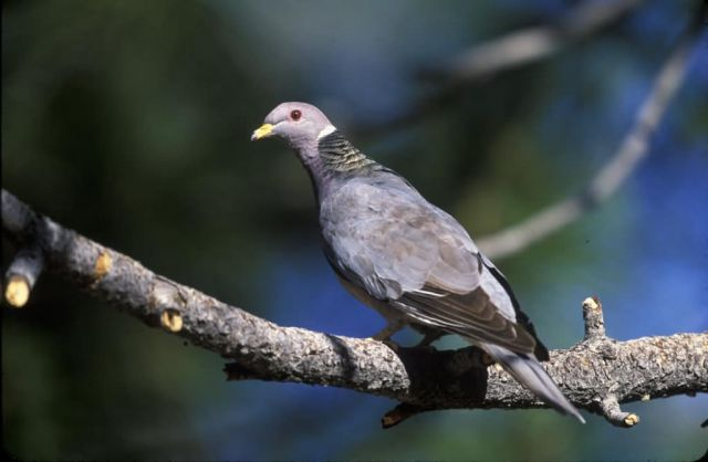 WO2468 Band-tailed Pigeon Picture