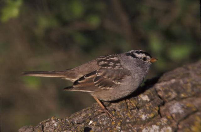 WO3767 White-crowned Sparrow Picture