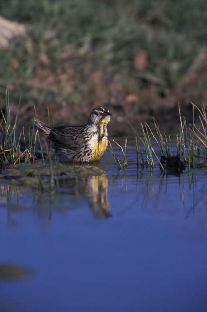 WO3789 Western Meadowlark Picture