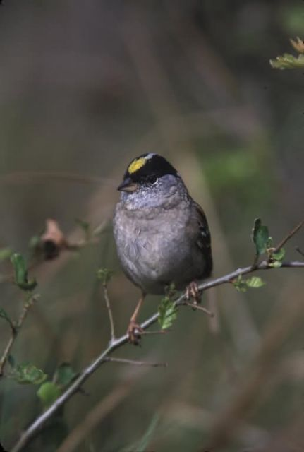 WO3946 Golden-crowned Sparrow Picture