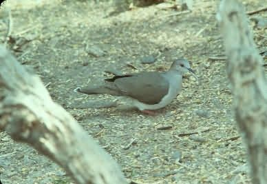 White Fronted Doves Picture
