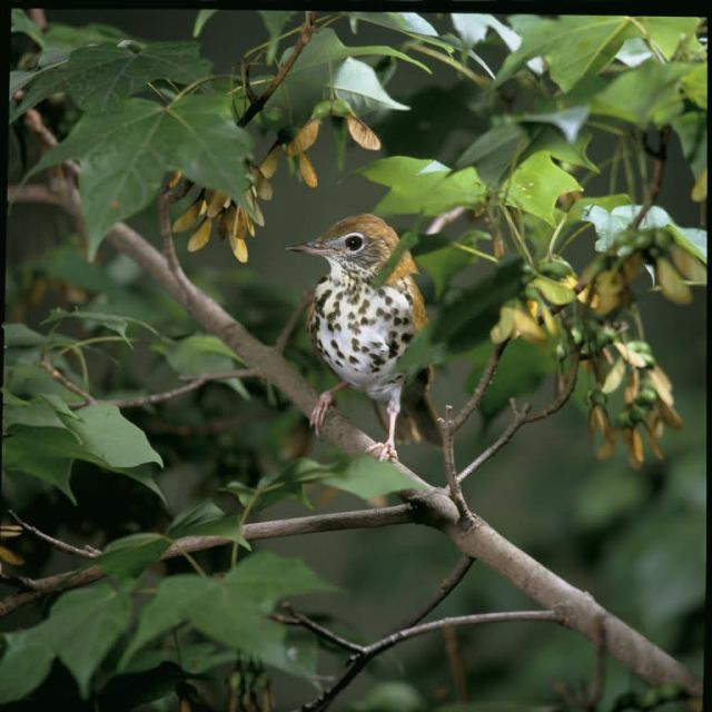 Wood Thrush Picture