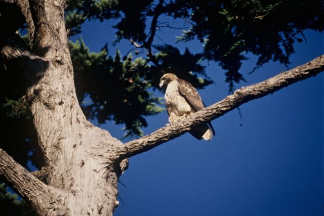 Red-tailed Hawk, immature Picture