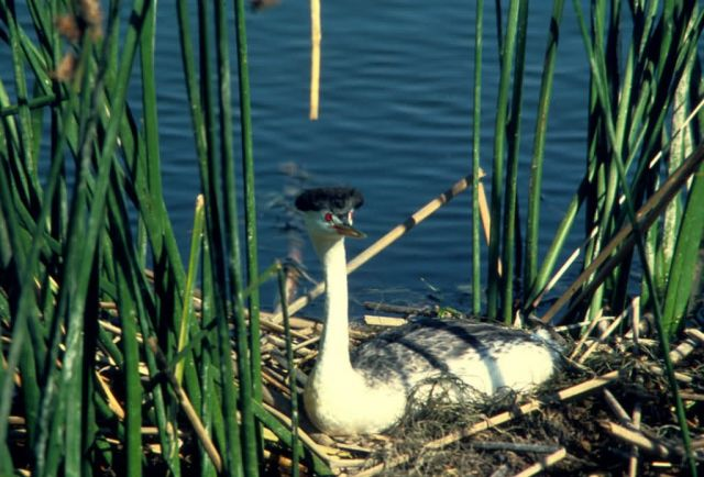 Western Grebe Picture